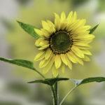 Foto van een prachtige zonnebloem
